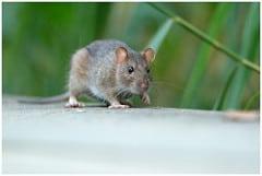 rat vangen